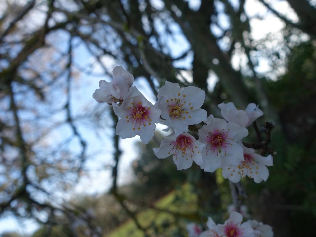 Die Mandelblüte im Februar auf Mallorca